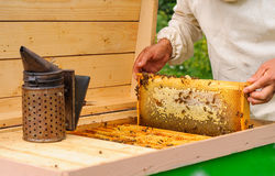 The beekeeper takes out from the hive honeycomb filled with fresh honey Stock Photography