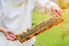 The beekeeper takes out from the hive honeycomb filled with fresh honey. Apiculture. Royalty Free Stock Photo
