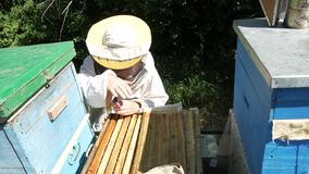 Beekeeper is taking out the honeycomb on wooden frame to control situation in bee colony.  stock footage