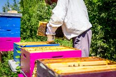 Apiarist, beekeeper is checking bees on honeycomb wooden frame. Beekeeper is taking out the honeycomb on wooden frame to control situation in bee colony royalty free stock photography