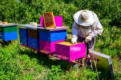 Apiarist, beekeeper is checking bees on honeycomb wooden frame. Beekeeper is taking out the honeycomb on wooden frame to control situation in bee colony stock photography