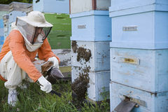Beekeeper Tending Beehives Royalty Free Stock Photos