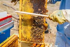 Beekeeper is using bristle to get rid of bees. Apiarist sweeps out bees from honeycomb with brush to extract honey, harvest time Royalty Free Stock Photos