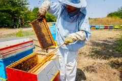 Beekeeper is using bristle to get rid of bees. Apiarist sweeps out bees from honeycomb with brush to extract honey, harvest time Royalty Free Stock Images