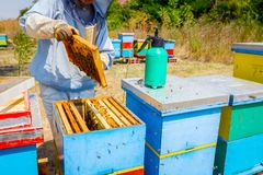Beekeeper is using bristle to get rid of bees. Apiarist sweeps out bees from honeycomb with brush to extract honey, harvest time Royalty Free Stock Image