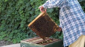 Beekeeper Inspecting Frames. Beekeeper woman inspecting frames inside the beehave stock video footage