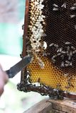 Beekeeper at work Stock Photo