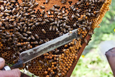 Beekeeper at work. A beekeeper and the honeycomb Stock Photography