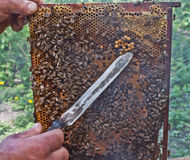 Beekeeper at work. A beekeeper and the honeycomb Royalty Free Stock Photos