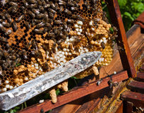 Beekeeper at work. A beekeeper and the honeycomb Stock Photo