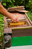 Beekeeper at work. A beekeeper and the honeycomb Stock Images