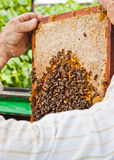 Beekeeper at work. A beekeeper and the honeycomb Royalty Free Stock Photography