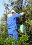 Beekeeper at Work. Swarm of 20000 bees on a tree and a beekeeper capturing them Royalty Free Stock Photo