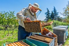 Beekeeper at Work. Bee keeper lifting shelf out of hive. The beekeeper saves the bees. Beekeeper at Work. Bee keeper lifting shelf out of hive. The beekeeper stock photography