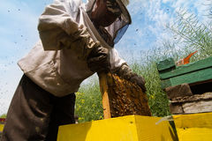 Beekeeper working on beehive. Horizontal sideview portrait of beekeeper in protection suit getting out a honey comb from a yellow beehive with bees swarming Royalty Free Stock Images