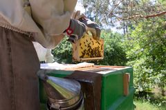 Beekeeper is working with bees and beehives on the apiary. In a natural light royalty free stock photo