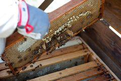 Beekeeper is working with bees and beehives on the apiary. In a natural light royalty free stock photography