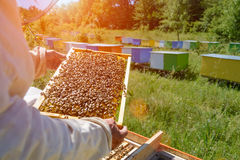 Beekeeper is working with bees and beehives on the apiary. Apiculture. royalty free stock image