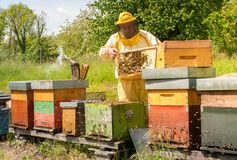 Beekeeper is working with bees and beehives on the apiary. Beekeeping concept royalty free stock photo