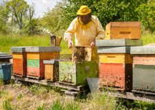 Beekeeper is working with bees and beehives on the apiary. Beekeeping concept stock photo