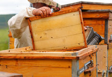 Beekeeper is working with bees and beehives on the apiary. Stock Photography