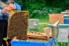 Beekeeper working collect honey. Beekeeper holding a honeycomb full of bees. Beekeeping concept. Beekeeper working collect honey. Beekeeper holding a honeycomb royalty free stock photo