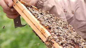Beekeeper working collect honey. Honey bees swarming and flying around their beehive. Beekeeping concept. stock video