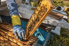 Beekeeper working in his apiary Stock Images