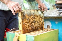 Beekeeper working in his apiary holding honeycomb frame Royalty Free Stock Image