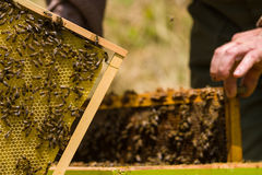 Beekeeper working on honeycomb with bees Royalty Free Stock Photography