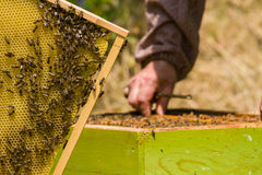 Beekeeper working on honeycomb with bees Royalty Free Stock Photos