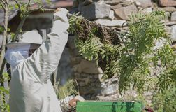 Beekeeper is working with swarm bees - apis mellifera stock image
