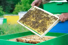 Beekeeperen undersöker bin i honungskakor I händerna av en honungskaka med honung arkivfoton