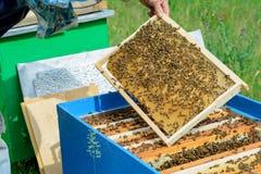 Beekeeperen undersöker bin i honungskakor I händerna av en honungskaka med honung royaltyfri fotografi