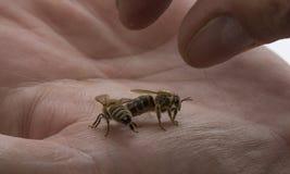 Beekeeperhåll en bidrottning & en x28; mother& x29; Fotografering för Bildbyråer