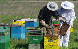 Beekeepers checking the honey combs in the field. Horizontal front view of two beekeepers in protection suit checking the honey combs with bees swarming around Stock Photo