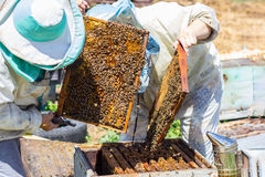 Beekeepers take frame of honye from beehive Royalty Free Stock Image