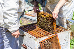 Beekeepers take frame of honye from beehive Stock Photography