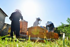 Beekeepers working with the beehives in the apiary stock photo