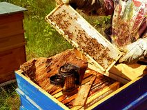 Beekeeping in action. Bees on a honeycomb which is full of honey, some smoke and sunny day stock image
