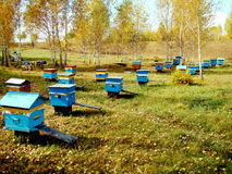 Beekeeping of Altai. The beekeeping apiary costs on a glade in the wood Stock Image
