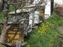 Beekeeping. Beehives in spring,valuable bees collect pollen stock photo