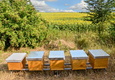Beekeeping. Beehives in the sunflower field, eastern Europe royalty free stock photography