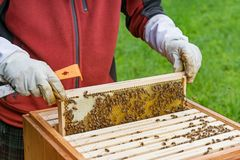 Beekeeping. Beekeeper, bee, honey domestic breed hive honey bee Royalty Free Stock Photography
