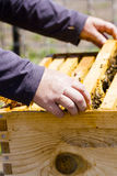 Beekeeping. A beekeeper checking her hive royalty free stock images