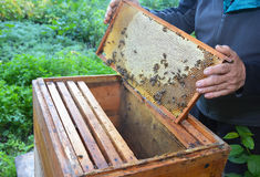 Beekeeping. Beekeeper holding with his hands frame of honeycomb from beehive with working honey bees. Close up on Beekeeping. Beekeeper holding with his hands stock image