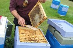 Beekeeping. Bees and honeycombs, close up image Royalty Free Stock Image