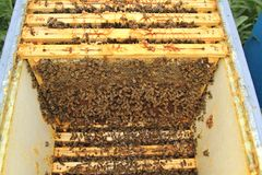 Beekeeping. Bees and honeycombs, close up image Stock Photos