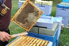 Beekeeping. Bees and honeycombs, close up image Stock Image