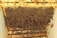 Beekeeping. Bees and honeycombs, close up image Royalty Free Stock Photo